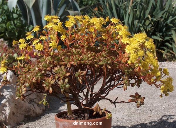 棒叶小人祭 Aeonium sedifolium