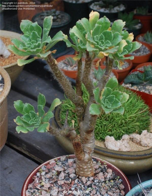 晶钻绒莲 Aeonium smithii