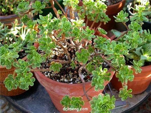 仙童唱 Aeonium spathulatum