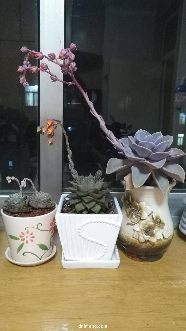 多肉植物开花