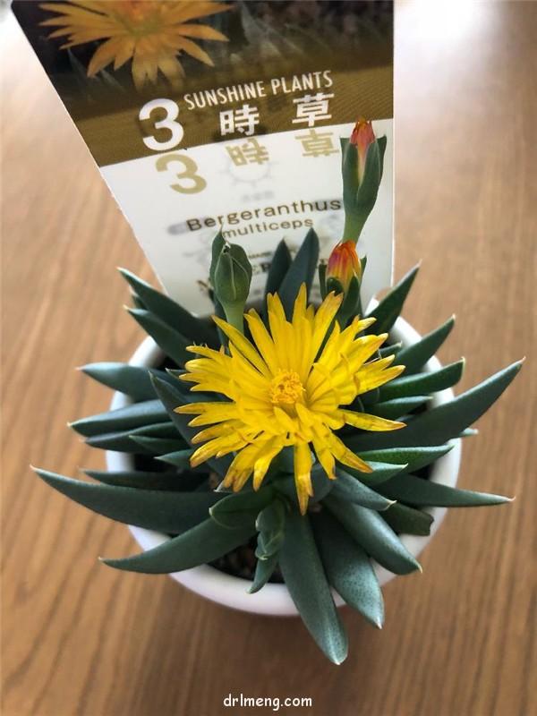 照波 Bergeranthus multiceps