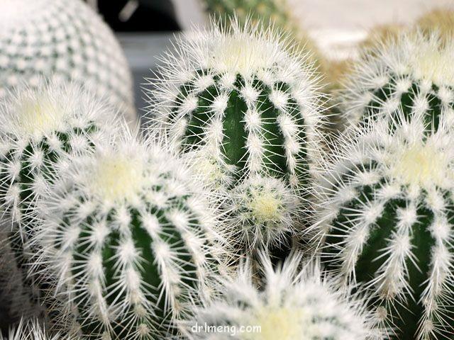 白刺花杯 Echinocereus baileyi var. albispinus