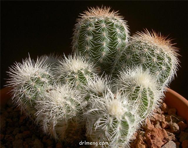 花杯 Echinocereus baileyi