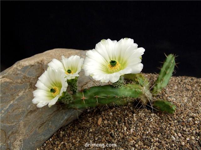 白花变种 Echinocereus berlandieri v