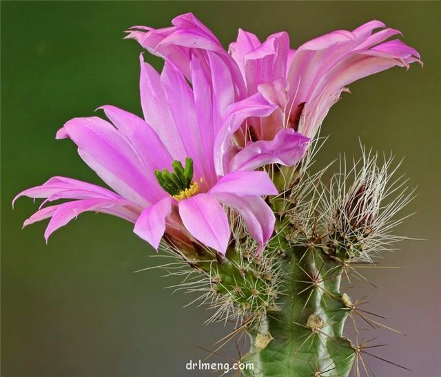 玄武 Echinocereus blanckii