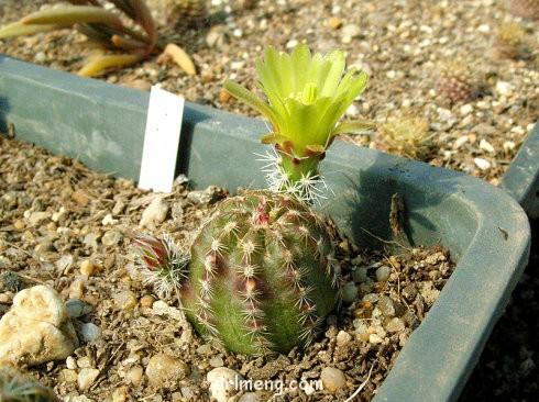 青花蟹 Echinocereus chloranthus ssp rhyolitensis