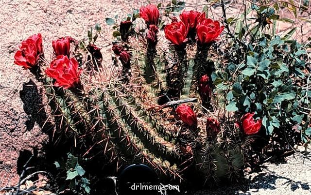 Echinocereus coccineus var. arizonicus1