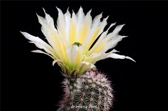 中刺御旗Echinocereus dasyacanthus var. rectispinus