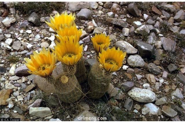 御旗 Echinocereus dasyacanthus