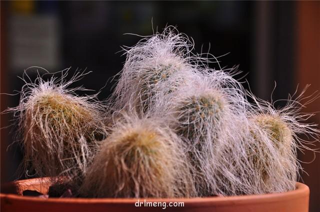 翁锦 Echinocereus longisetus subs. delaetii