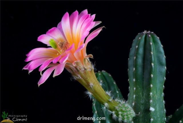 Echinocereus scheeri var. gentryi
