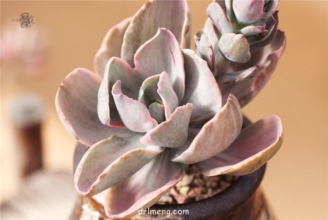 飞云 Echeveria flying cloud