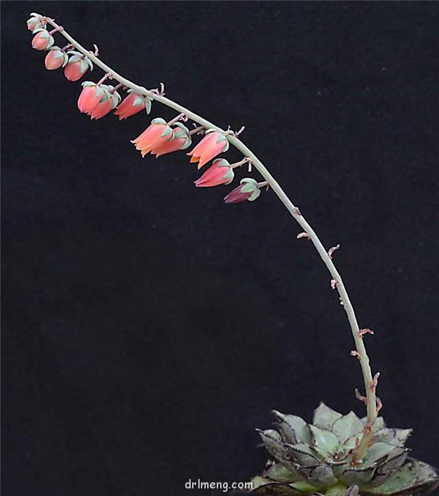 摩氏石莲 Echeveria Moranii
