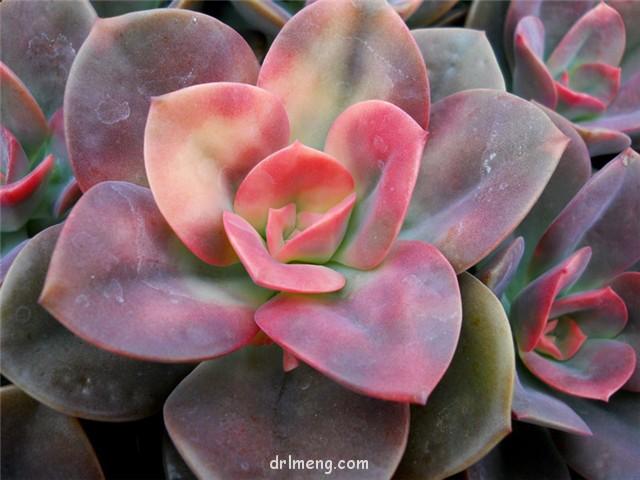 油彩莲 Echeveria chroma