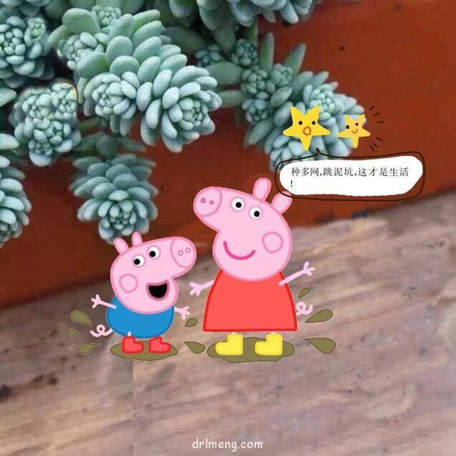 小猪佩奇遇到多肉的对话