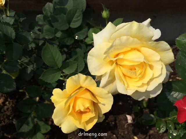 月季的花朵