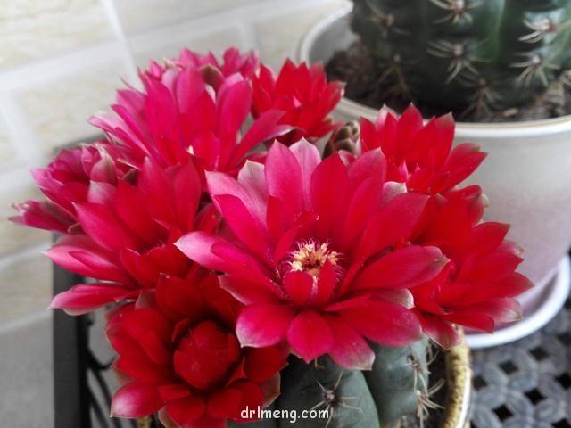 开花的仙人掌和多肉都很美
