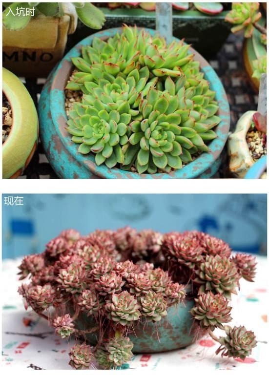 四川乐山,多肉成长对比图