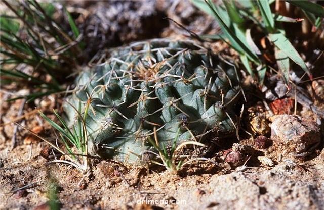 E. pulchellus ssp. venustus