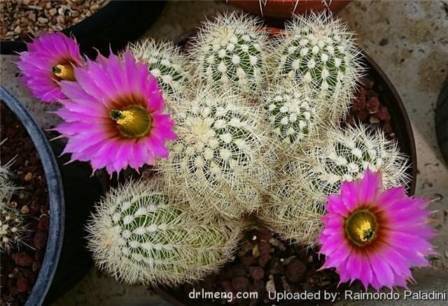 Echinocereus baileyi var. brunispinus(桃霞丸)