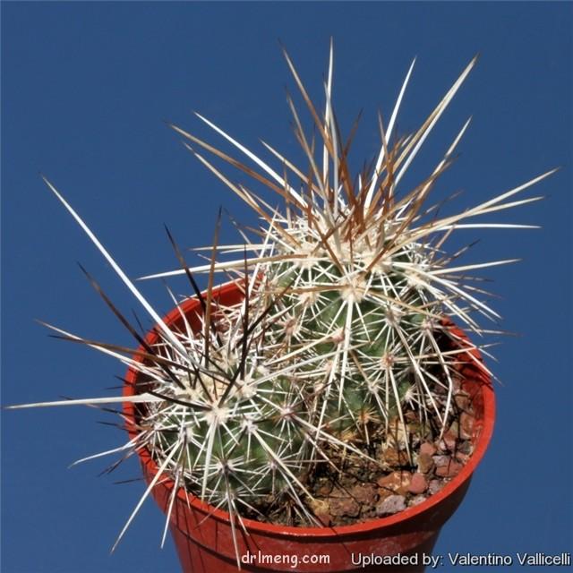 Echinocereus engelmannii var. chrysocentrus
