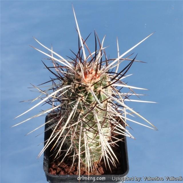 Echinocereus engelmannii var. purpureus