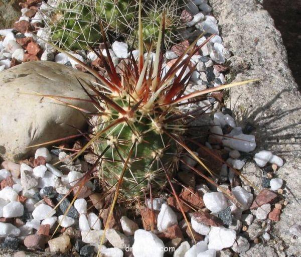 Echinocereus engelmannii var. variegatus
