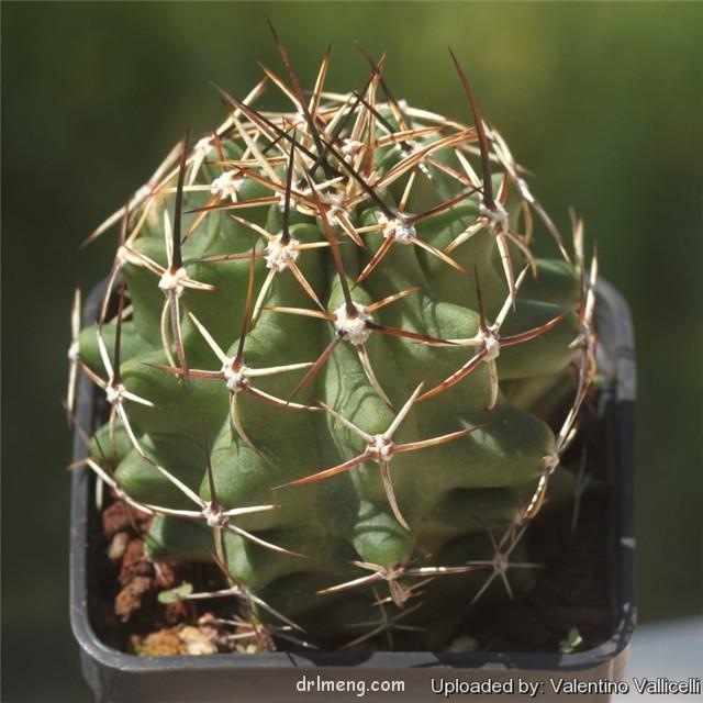 Echinocereus fendleri subs. hempelii