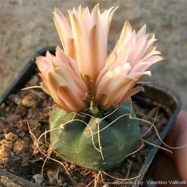 Echinocereus knippelianus var. kruegeri