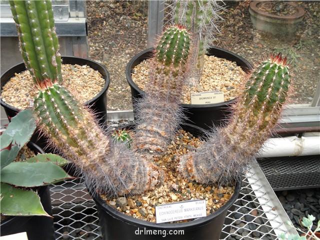 刺武者 Echinocereus marksianus