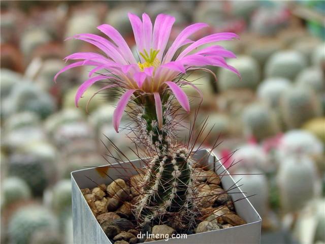 春高楼 Echinocereus palmeri