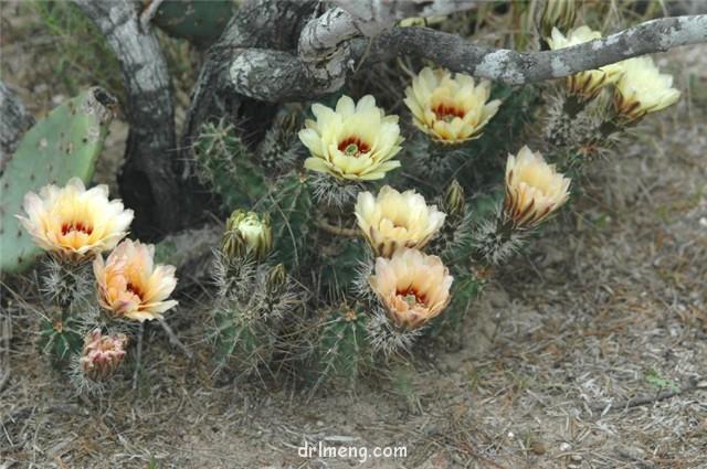 华山 Echinocereus papillosus