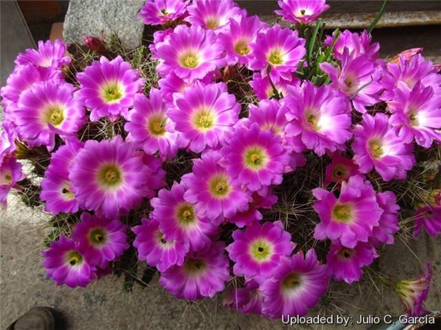 花簪/美花角 Echinocereus pentalophus