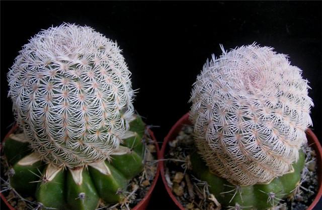 灯蛾 Echinocereus primolanatus