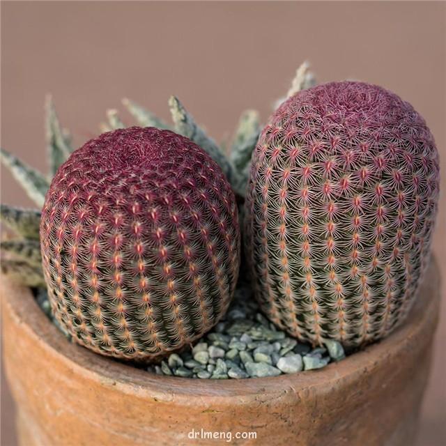 紫太阳 Echinocereus rigidissimus var. rubispinus