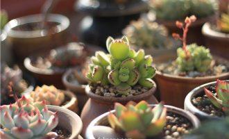 多肉植物可以净化室内空气吗?