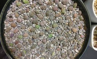 夏天生石花的上盆、修根、发根及服盆