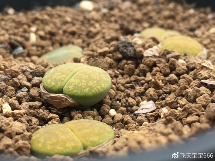 各种情况下浇水后的生石花