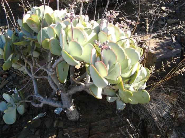轮回 Cotyledon orbiculata var orbiculata6