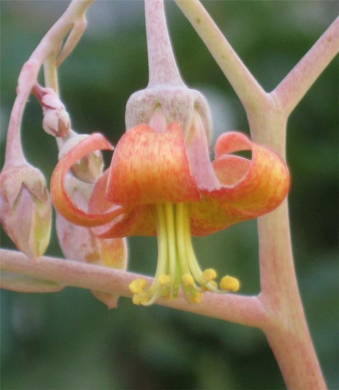 Cotyledon orbiculata var. dactylopsis
