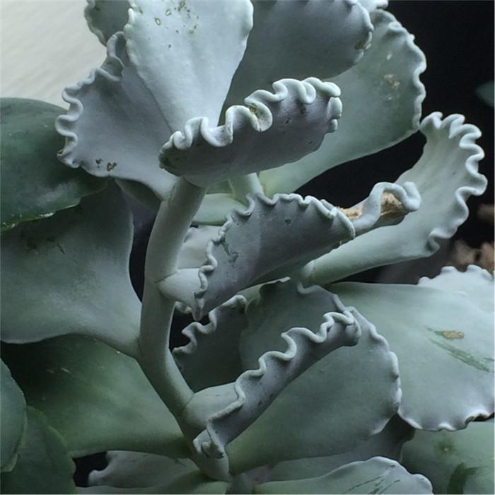 银波锦 Cotyledon orbiculata var. oblonga 'Undulata'