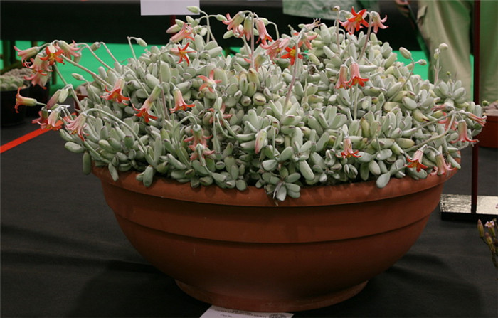 福娘 Cotyledon orbiculata var. oophylla