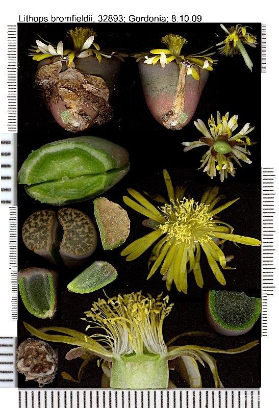 Lithops bromfieldii 生石花解剖特征图