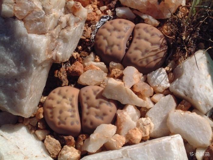多点神笛玉 Lithops dinteri ssp. multipunctata