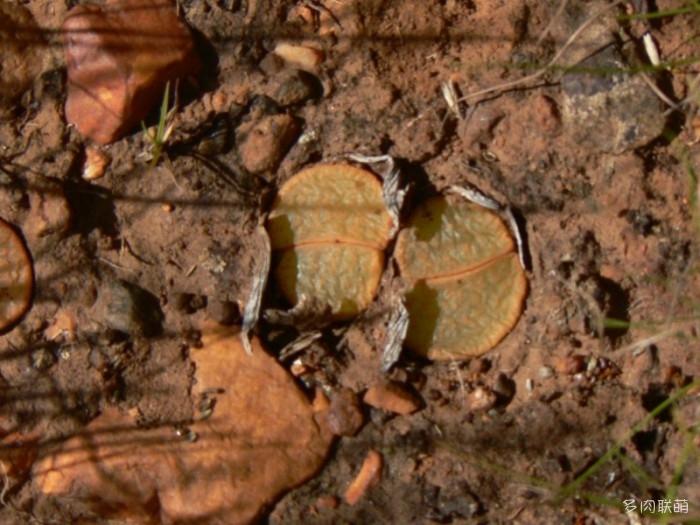 紫勋 Lithops lesliei