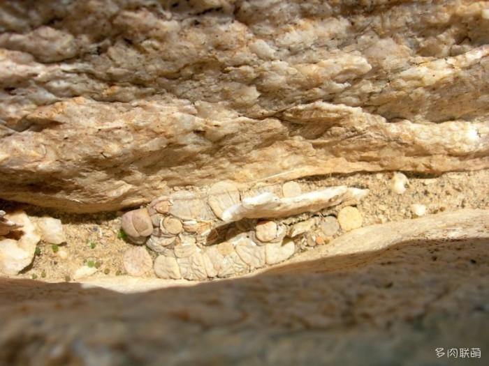 留蝶玉 Lithops ruschiorum