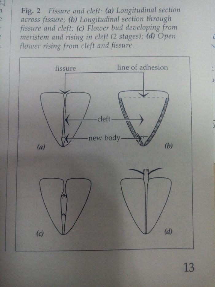 生石花的形态特征图