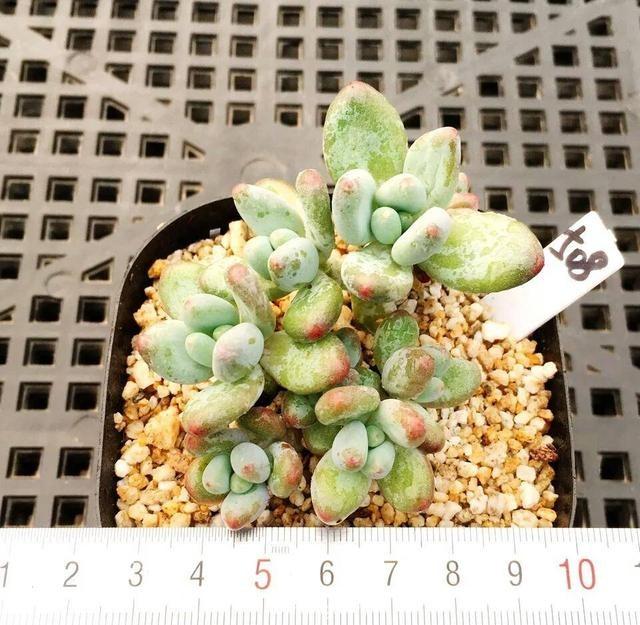 苹果美人(加西亚,Pachyphytum garciae)
