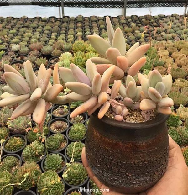 香蕉美人(梦美人,Pachyphytum werdermannii)