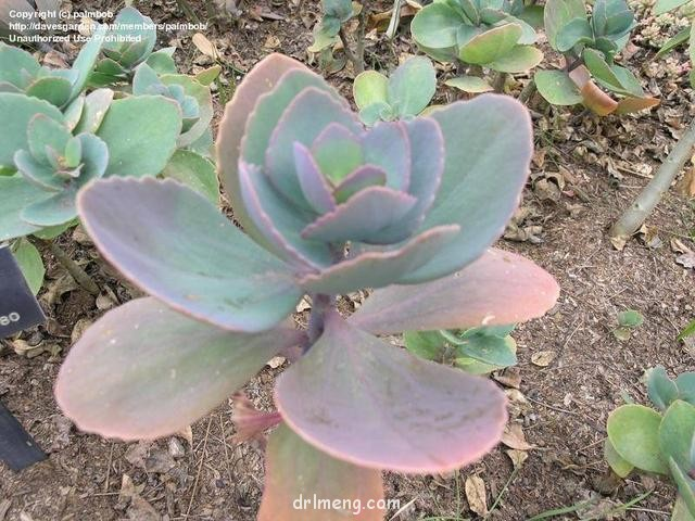 天之羽袖 Kalanchoe grandiflora
